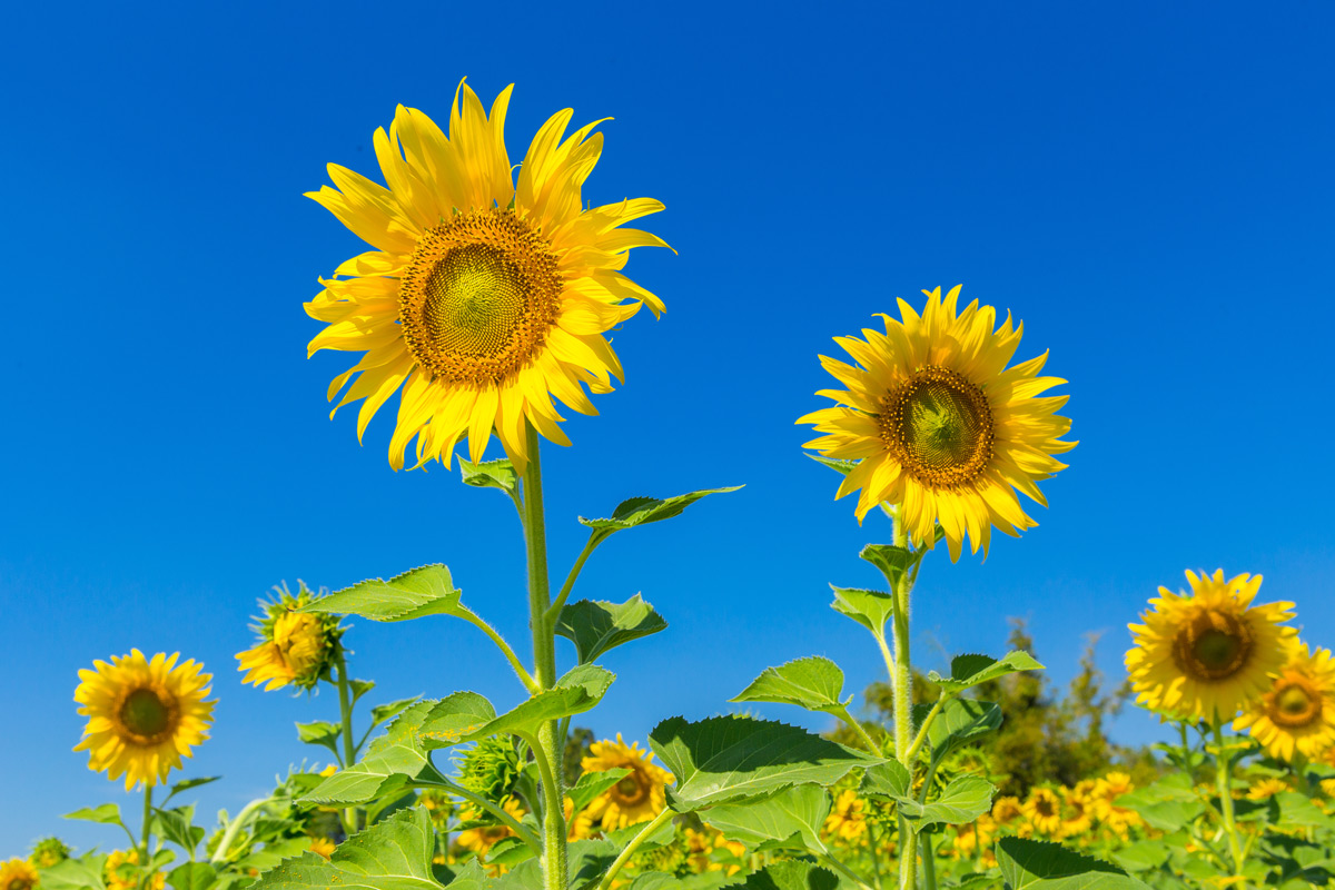 A Little Bit Of Sunshine How To Grow Sunflowers